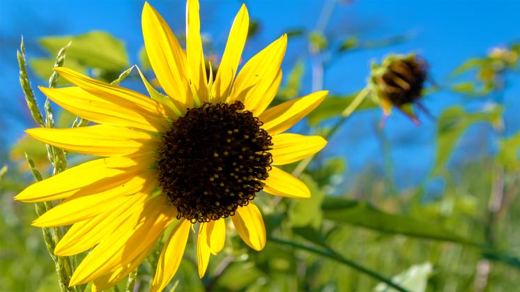 Sunflower August